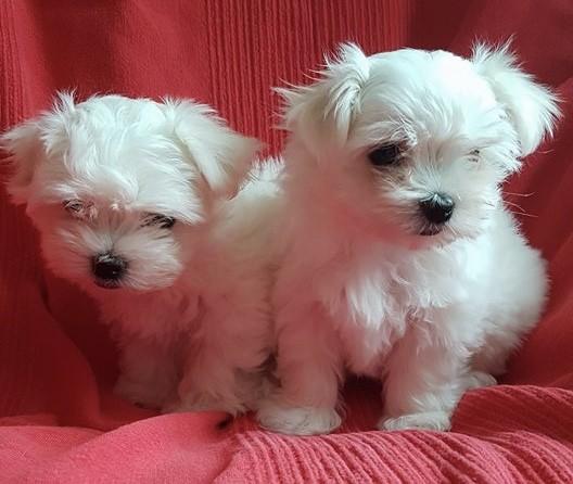 2-beautiful-kc-reg-maltese-baby-girls-598dc4b5bb1c7