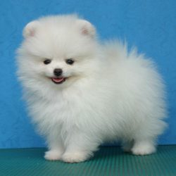 Pomeranian-Puppy post