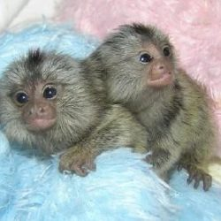 healthy-pygmy-marmoset-monkeys-americanlisted_54387027
